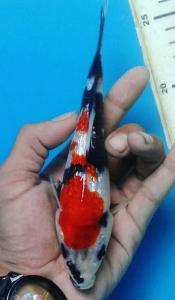 449-Dita koi-pagcom koi-bandung-kingirin a-20cm