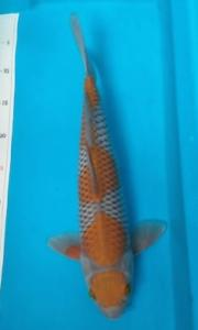 429-budi santoso-cikampek-pirmankoi majalaya-kawarimono-40cm -okal