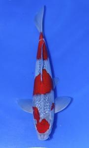 472-EDDY - SAMURAI - BANDUNG - GOSHIKI 45 CM