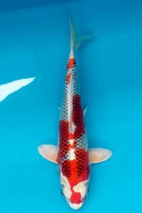 097-Herry Dragon-Yogyakarta-Seiryuu Koi Carp-Bandung-Kujaku-30cm-Female
