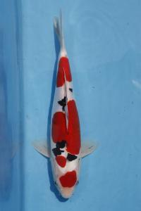 258-verrell- ciamis-ciamis koi centr-ciamis-doitsu-34cm