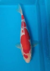423-ii aquarium-balik papan-pirmankoi majalaya-kohaku-25cm-lokal
