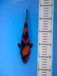 318-purboyo cahyono-jepara-alvi grankoi-kediri-hiutsuri-21cm-female